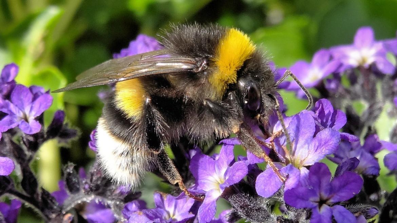 Dark Ground Bumblebee - Bombus terrestris (Terris)