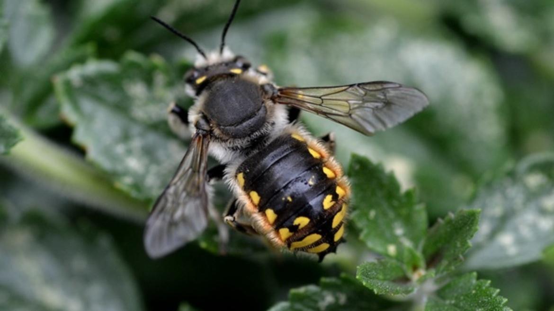 Garden Woolly Bee - Anthidium manicatum (Mani & Manica)
