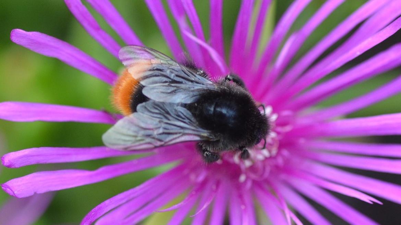 Mason Bee - Osmia cornuta (Mia)