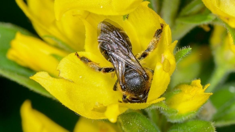Thigh Bee - Macropis europaea (Ropa)