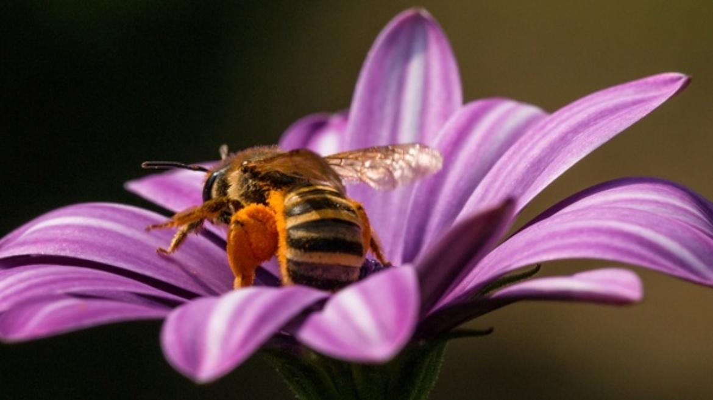 Trouser Bee - Dasypoda hirtipes (Hirti)