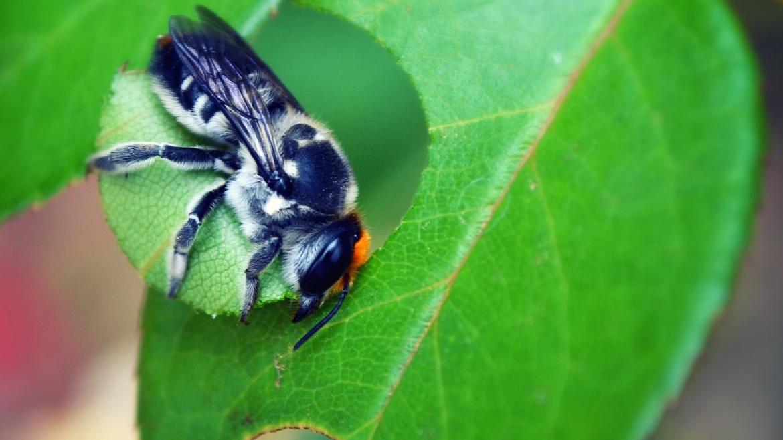 Leaf Cutter Bee - Megachile centuncularis (Chilli)