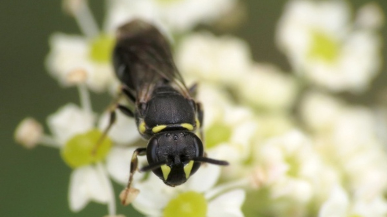 Masked Bee - Hylaeus communis (Leus)